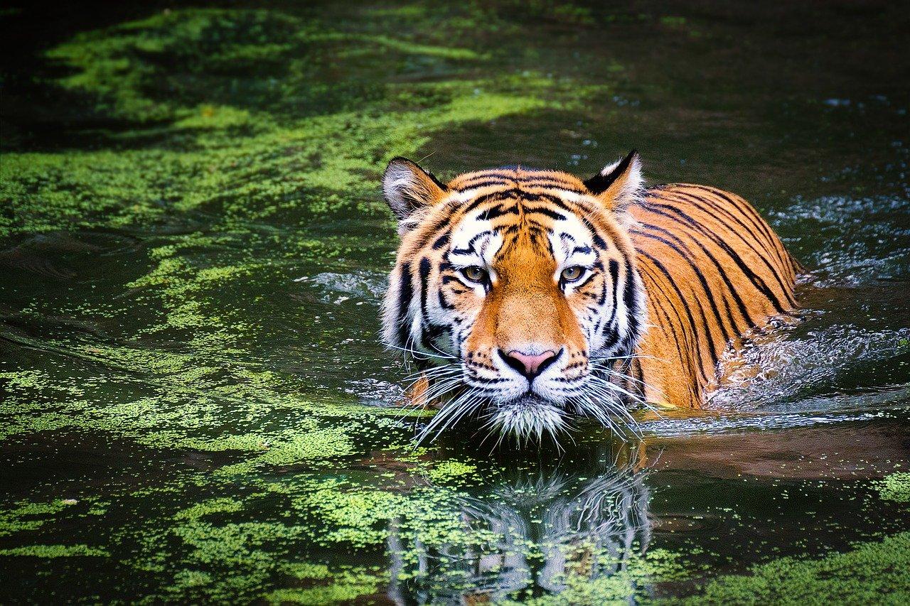tigre_piel